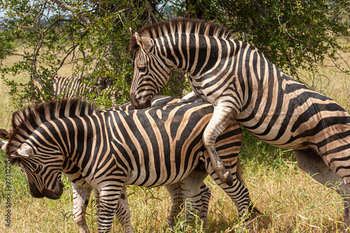 zebras national park reserves and parks of south africa Wallpaper Mural