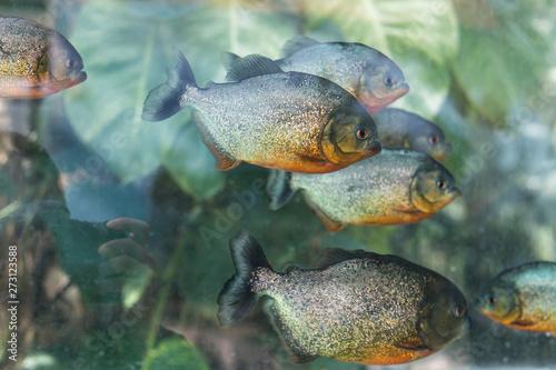 Fototapeta Pygocentrus nattereri. Piranha closeup in the aquarium