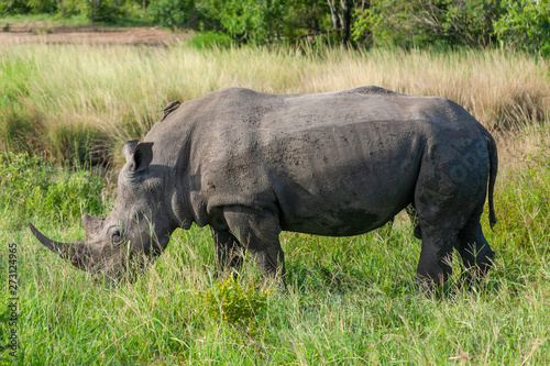 rhinoceros mammal of the national park reserves and parks of south africa Canvas Print
