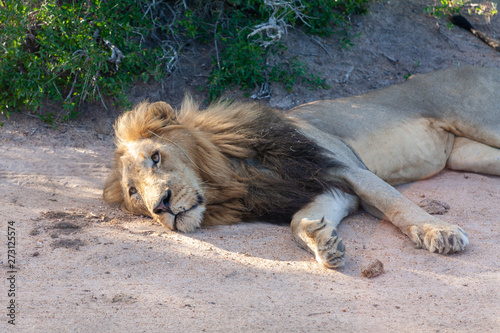 Photo lion mammal of the kruger national park reserves and parks of south africa