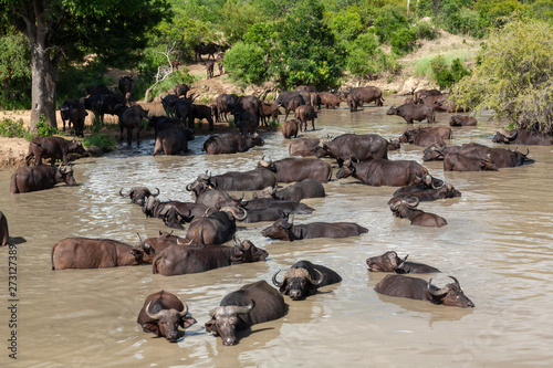Photo buffalo mammal of the kruger national park reserves and parks of south africa