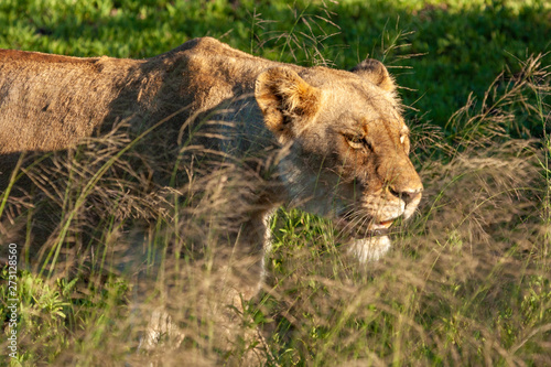 Photo lion mammal pof the kruger national park reserves and parks of south africa
