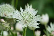 Great Masterwort Flowers In Bloom In Springtime