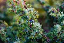 Scottish Juniper
