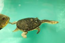 Eastern Long-necked Turtle. Sn...