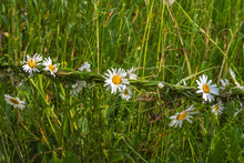 Woven Daisy Chain Fence In A F...