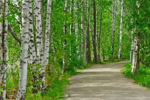 White Birches Along A Path In ...