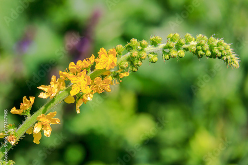 Agrimony. Yellow little flowers in spikelet close-up. Wallpaper Mural