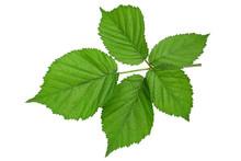 Blackberry Fruit Leaf Closeup