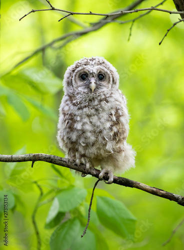 Naklejki Sowa   barred-owl-owlet-perched-against-a-green-background-on-a-branch-in-the-forest-in-canada