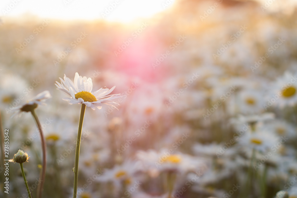 Fototapeta Marguerite daisies on meadow at sunset. Spring flower.
