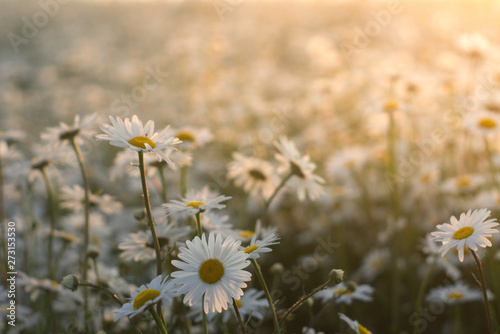 Marguerite daisies on meadow at sunset. Spring flower. Fototapete