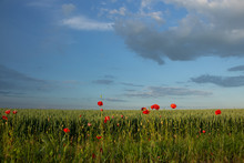 Red Poppies Bloom On A Wheat Field With Green Spikelets.