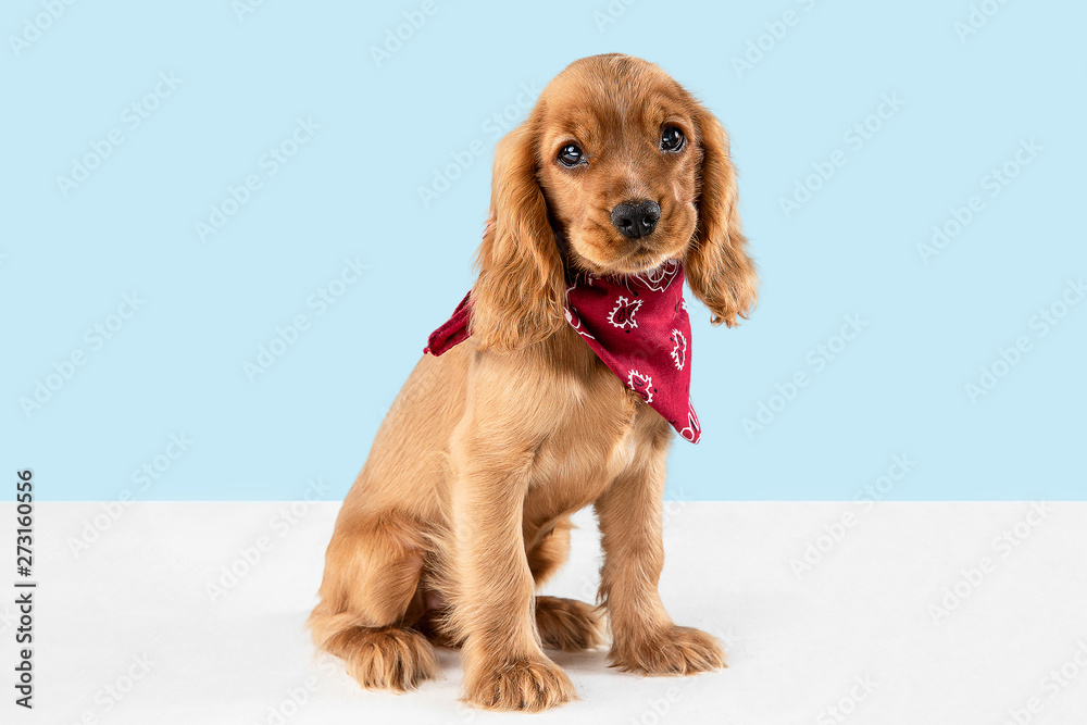 Fototapety, obrazy: Looking so sweet and full of hope. English cocker spaniel young dog is posing. Cute playful braun doggy or pet is sitting isolated on blue background. Concept of motion, action, movement.