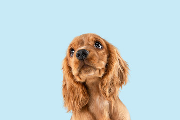 FototapetaLooking so sweet and full of hope. English cocker spaniel young dog is posing. Cute playful braun doggy or pet is sitting isolated on blue background. Concept of motion, action, movement.