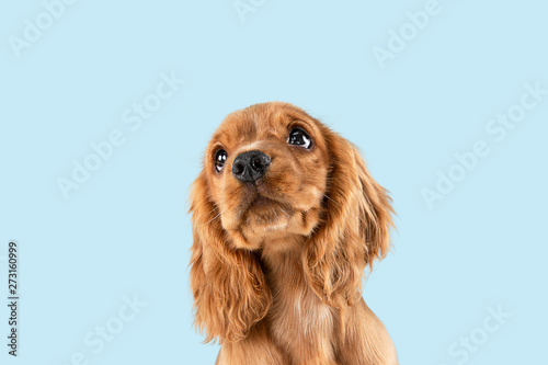 Spoed Foto op Canvas Hond Looking so sweet and full of hope. English cocker spaniel young dog is posing. Cute playful braun doggy or pet is sitting isolated on blue background. Concept of motion, action, movement.