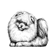 Pomeranian / Small German Spit...