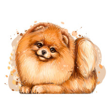 Wall Sticker. Color, Artistic Portrait Of A Cute Pomeranian / Small German Spitz Dog With Fluffy, Red Fur In A Picturesque Style On A White Background With Splashes Of Watercolor.