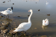 Group Of White Swans And Ducks Swimming On The Dirty Lake In Polluted Water. Environmental Protection.