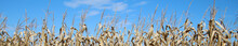 Panorama Of Dried Corn Tassels Under A Blue Sky