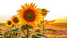 Sonnenblumen Im Gegenlicht Bei Sonnenuntergang