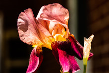 Pink And Burgundy Iris