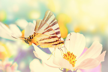 Fototapeta Optyczne powiększenie Dreamy cosmos flowers, butterfly against sunlight. Macro with soft focus. Pastel vintage toned. Delicate transparent airy elegant artistic image of spring. Nature greeting card background