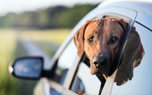 Dog Looking From The Car Window. Rhodesian Ridgeback.