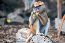 Patas Monkey Or Erythrocebus P...