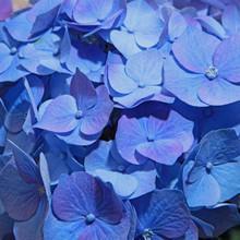Fleurs D'hortensia Bleue