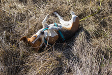 Dog Is Rolling In The Tall Grass