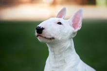 White Bull Terrier Puppy Head Close Up