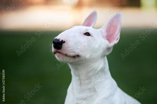 Fotografia white bull terrier puppy head close up
