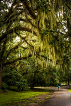 Walkway With Spanish Moss Hanging From Live Oak