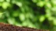 Cannabis plant seedling in flowerpot, Indica dominant hybrid, with blurred mature plants moving in wind on the background. in slow motion Under the drops of water