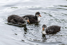 Very Young Coots On The Water