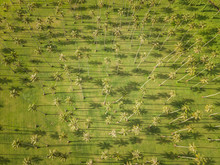 Aerial View Of A Forest Of Pal...