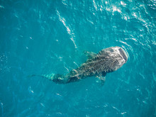 Aerial View Of Whale Shark In ...