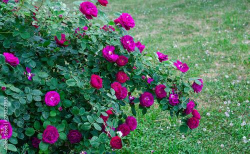 growing beautiful rose bushes in a garden