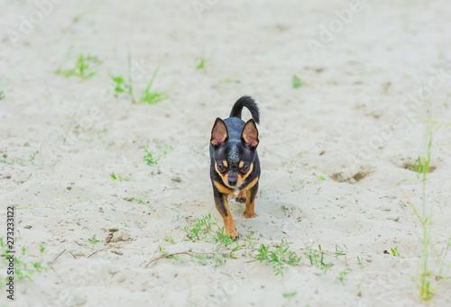 Foto op Plexiglas Stenen in het Zand funny chihuahua dog posing on a beach
