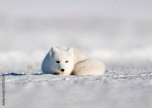 Canvas Prints Polar bear Arctic Fox