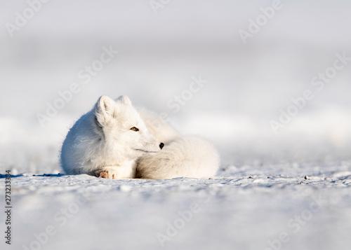 Recess Fitting Polar bear Arctic Fox