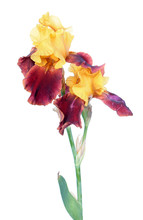 Variegata (yellow And Burgundy) Iris Flowers With Long Stem And Green Leaf Isolated On White Background. Cultivar With Yellow Standards And Burgundy Falls From Tall Bearded (TB) Iris Garden Group