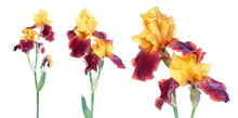 Variegata (yellow And Burgundy) Iris Flowers Isolated On White Background. Cultivar With Yellow Standards And Burgundy Falls From Tall Bearded (TB) Iris Garden Group