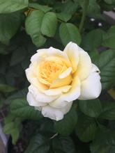 Rose Yellow Rose Garden