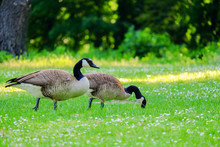 Two Canadian Geese Stinging Gr...