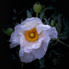 Front Five Of Matilija Poppy With Leaves Background Is Dark