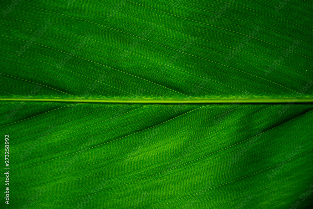 Fototapety, obrazy: Green leaf texture background, Leaf cell structure occurs naturally. Close-up.