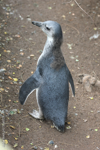 Tuinposter Pinguin African penguin in Cape Town, South Africa