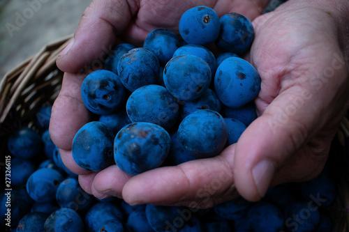 Valokuvatapetti Sloe berries in the hands